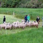 5. Klasse Realschule Mellrichstadt Mai 2013 - Schüler bei den Schafen